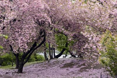 Les cerisiers en fleur au Japon