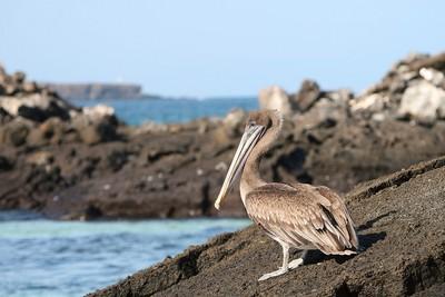 Pelican des îles Galapagos