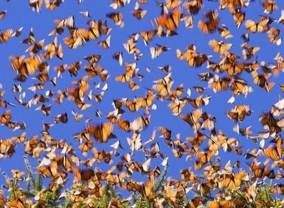migration papillons monarques